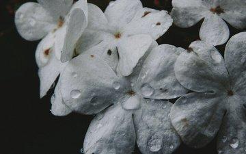 цветы, макро, капли, лепестки, черный фон, сирень