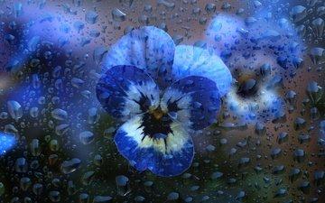 цветы, вода, макро, капли, лепестки, стекло, анютины глазки, фиалки, виола