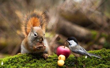 яблоки, птица, мох, животное, белка, орех, синица, грызун