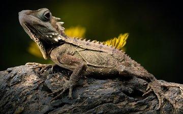 ящерица, камень, одуванчик, рептилия, игуана, боке, лесной дракон