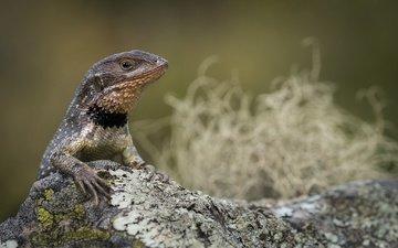 ящерица, игуана, боке, узкохвостая игуана