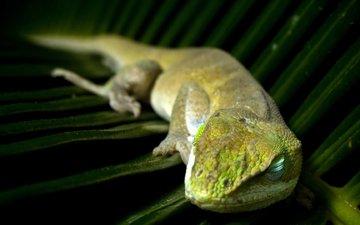 спит, лист, ящерица, пальма, отдых, рептилия, пресмыкающиеся