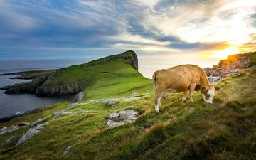 the sky, grass, clouds, shore, sea, cow