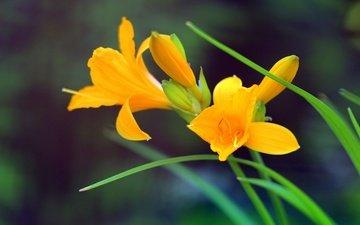 цветы, стебли, боке, желтые цветы, лилейник