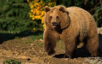 природа, животные, медведь, солнечно, бурый медведь
