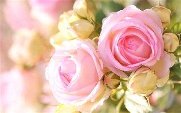 бутоны, размытость, розовые розы