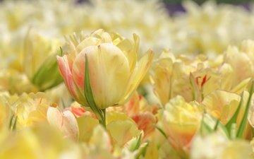 цветы, бутоны, лепестки, весна, тюльпаны