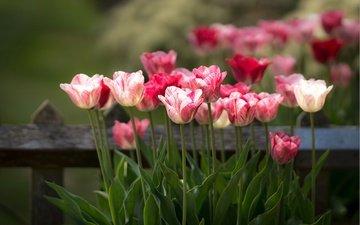 цветы, бутоны, забор, весна, тюльпаны, стебли, боке