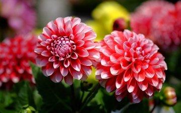 цветы, цветение, бутоны, лепестки, георгин, георгины
