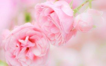 цветение, бутоны, листья, розы, роза, лепестки, размытость, бутон