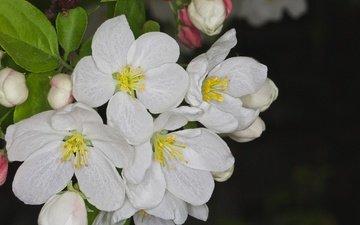 цветение, макро, весна