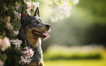 цветение, зелень, собака, язык, боке, люси, австралийская пастушья