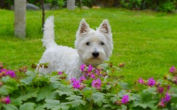muzzle, look, dog, puppy, flowers, the west highland white terrier