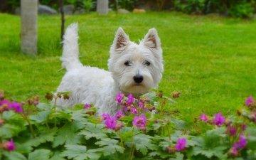 мордочка, взгляд, собака, щенок, цветочки, собачка, вест-хайленд-уайт-терьер