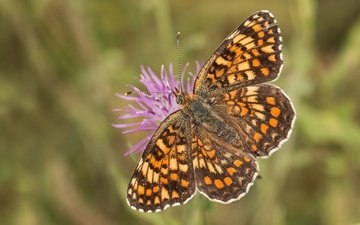 насекомое, цветок, бабочка, крылья, боке, шашечница