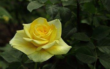 leaves, flower, rose, petals, bud, rose yellow