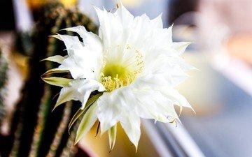 цветок, окно, кактус, белый цветок