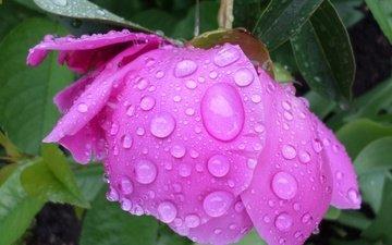 листья, цветок, капли, лепестки, дождик, пион