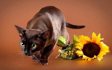 цветок, кот, мордочка, усы, кошка, взгляд, подсолнух, животное, бурманская