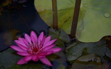 вода, листья, цветок, лепестки, водяная лилия