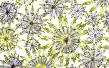 цветы, цветок, лепестки, белый фон, астрантия