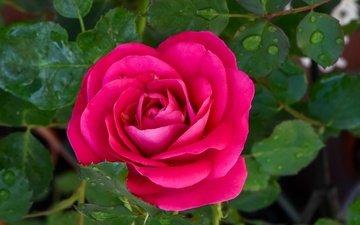 листья, цветок, роса, капли, роза, лепестки, бутон