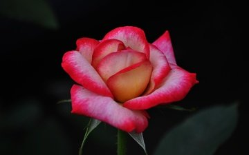 flower, rose, petals, bud, black background