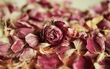 flower, rose, petals, rosebud
