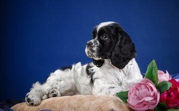 цветок, собака, щенок, животное, подушка, спаниель