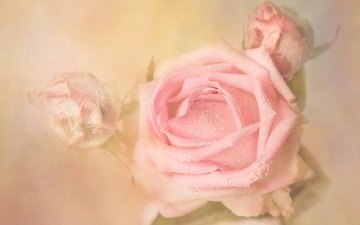 flowers, buds, background, rosa, drops, roses, rose, bud