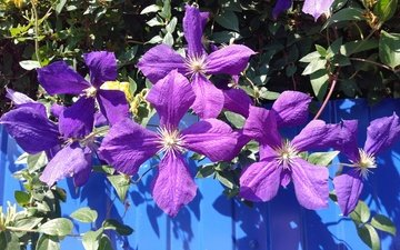 flowers, leaves, petals, color, clematis