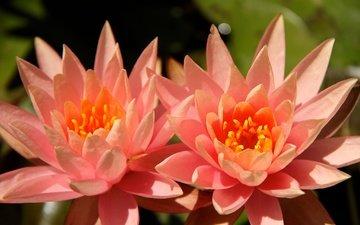 цветы, листья, цвет, пруд, пара, кувшинки, нимфея, водяные лилии