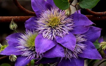flowers, flowering, petals, clematis