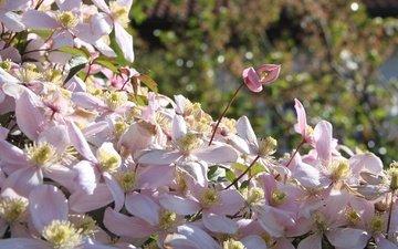 цветы, цветение, лепестки, клематис