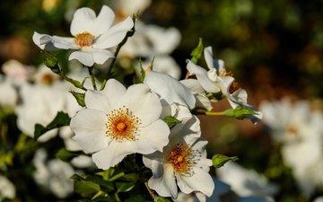 цветы, цветение, листья, лепестки, шиповник