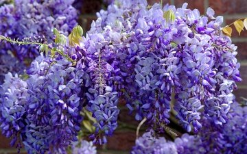 flowers, flowering, branches, garden, spring, purple, lilac, flora, wisteria