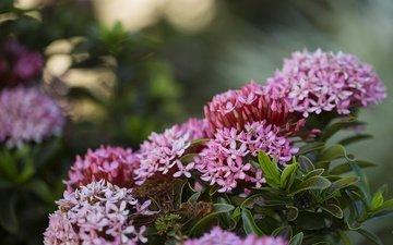 цветы, цветение, листья, куст, соцветия, очиток