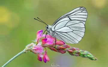 flowers, macro, insect, flower, butterfly, wings, the aporia crataegi
