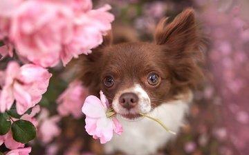 flowers, look, dog, animal, chihuahua