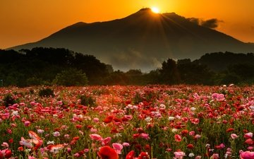 flowers, trees, the evening, mountains, the sun, nature, sunset, rays, landscape, fog, field, mountain, maki, meadow, mac, poppy field