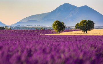 flowers, mountains, field, lavender, france, alps, cote d'azur, provence, valensole