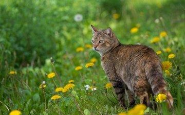 цветы, кот, мордочка, усы, кошка, взгляд, весна, одуванчики