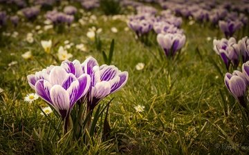 flowers, grass, spring, chamomile, crocuses