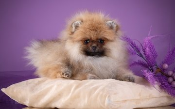 flowers, lavender, dog, animal, pillow, twigs, spitz