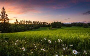 цветы, трава, лето, луг, ромашки, финляндия, teisko