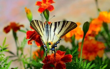 flowers, macro, insect, butterfly, wings