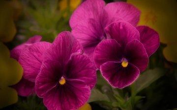 цветы, макро, фиолетовые, фиалки