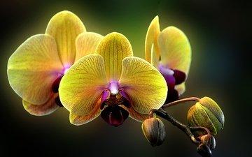 цветы, макро, орхидея, фаленопсис