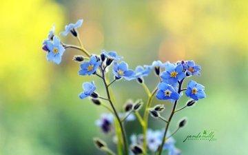 цветы, лепестки, стебли, незабудки