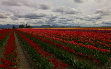 flowers, clouds, trees, field, tulips, plantation